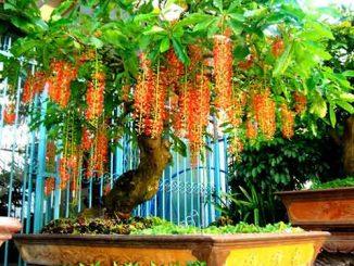 Có nên trồng cây lộc vừng trước nhà để tăng vận khí cho gia chủ không?