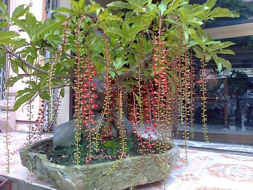 Một số điều cần biết khi trồng cây Lộc Vừng trước nhà