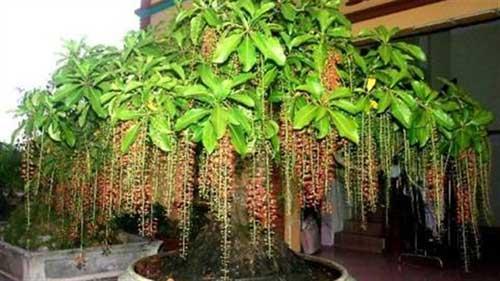 Tìm hiểu về ý nghĩa phong thủy của cây Lộc Vừng