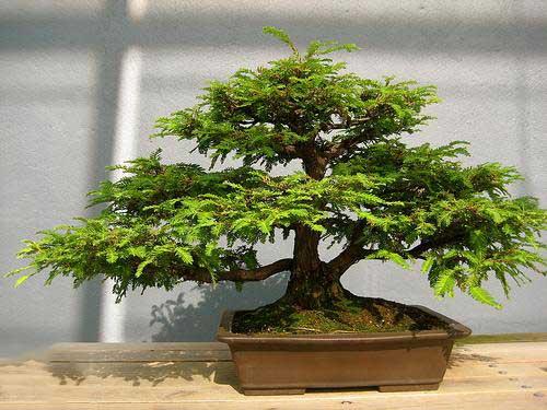 Trồng cây me trước nhà thì nên hạn chế chiều cao của nó, tốt nhất nên trồng cây me bonsai.