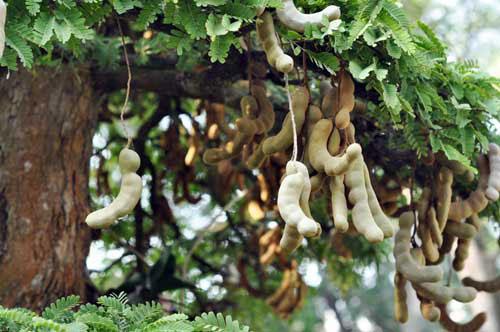 Giới thiệu đôi nét về cây me, có nên trồng cây me trước nhà không?