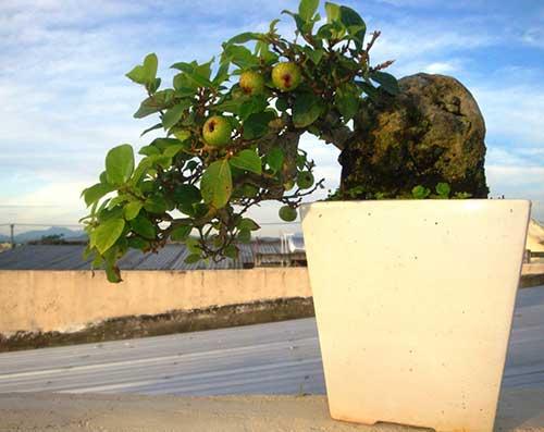 Trồng cây sung trước nhà có tốt không?